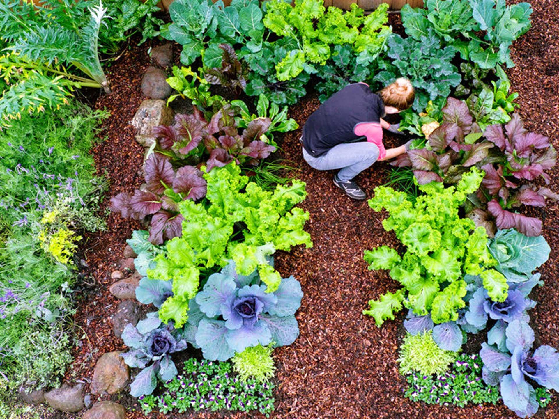 Cool weather vegetable plants hebert 39 s garden center Flowers to plant in vegetable garden