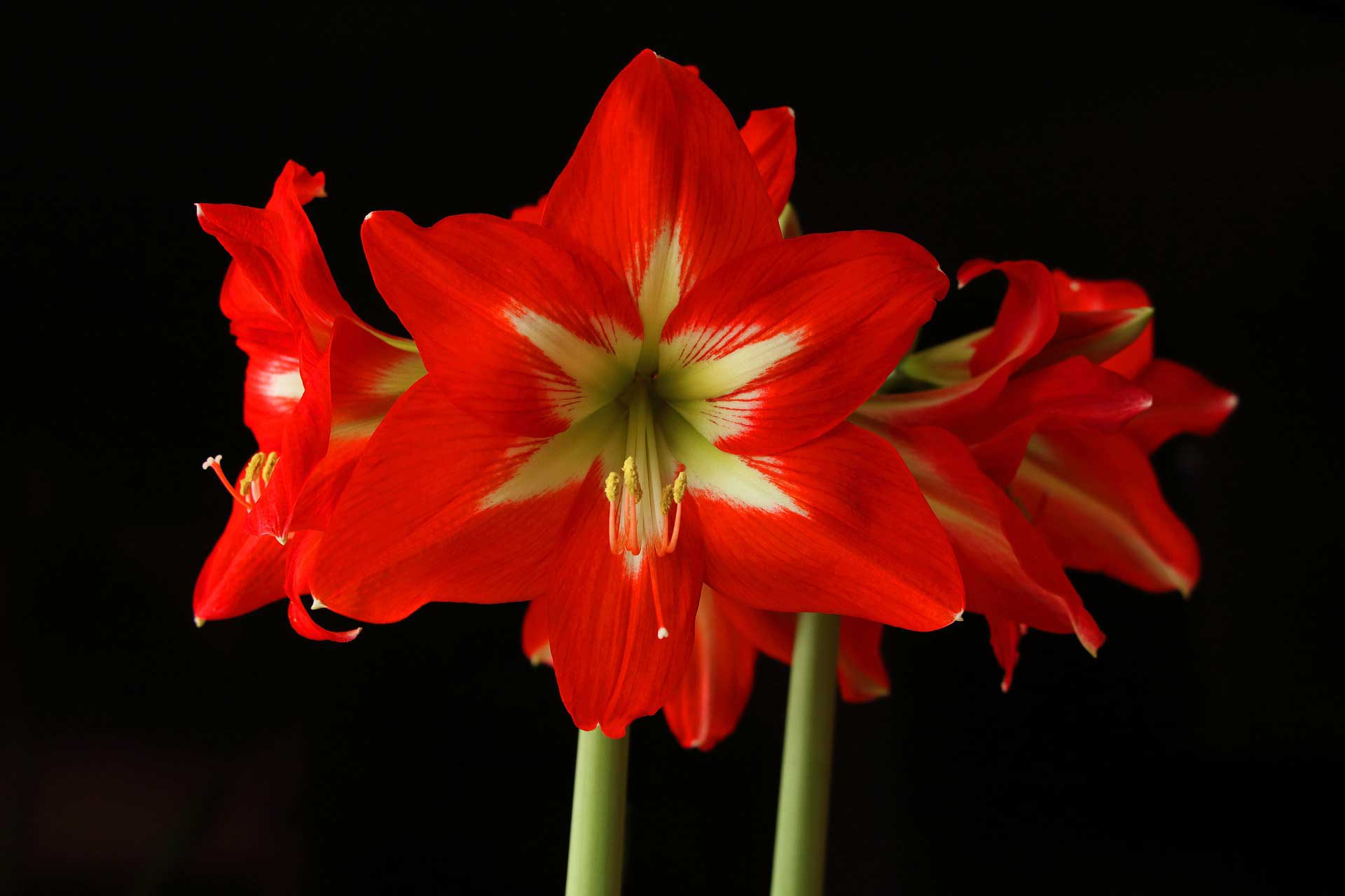 Amaryllis planting and care hebert 39 s garden center for Un amaryllis